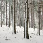 """Snow Striped Pines"" by petemeade61"