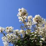 """White Flower Blue Sky"" by johnfrench"
