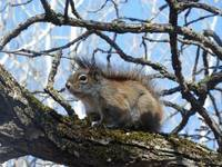 Red Squirrel Sitting on a Branch
