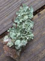 Tree Lichen - Environmental Gem