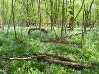 Bluebell Field, Bull Run Park, Manassas, Virginia