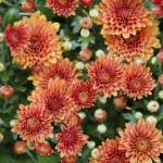 """Orange Mums"" by ZPPhoto"