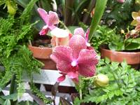 Pink Orchids with Ferns