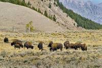 Bison Grazing Beneath the Tetons