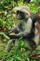 Red colobus with baby