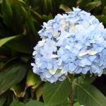 """Blue blue Hydrangeas"" by ARTistic_Anne"