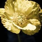 """""""Poppy"""" by RestlessWings"""