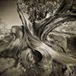 """Gnarled Beauty B/W"" by KrazyKlown"