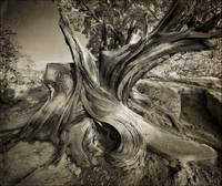 Gnarled Beauty B/W