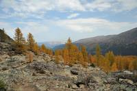 Yellow larches on the scree