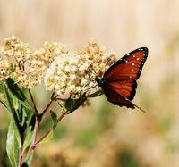 Butterfly on Desert Bloom