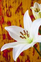Pure White Lily