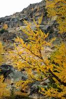 Yellow larch