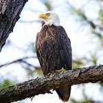 """Bald Eagle on Hilton Head Island"" by jimcrotty"