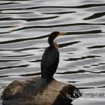 """Cormorant 20121101_130"" by Natureexploration"