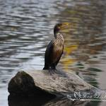 """Cormorant 20121101_277"" by Natureexploration"