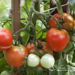 """Tomatoes 20120722_03"" by Natureexploration"