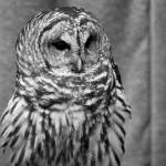 """Barred Owl"" by SamGriffiths"