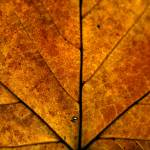 """Autumn Leaf"" by SamGriffiths"
