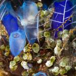 """Blue Sea Tunicates"" by flyingpanther"