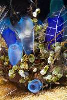 Blue Sea Tunicates