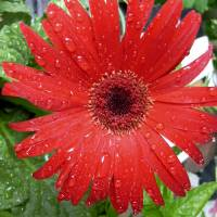 Great Gerbera ! Art Prints & Posters by Susi Franco