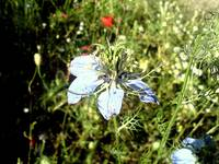 wild flowers of Greek nature