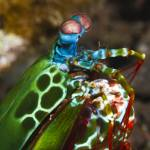 """Peacock Mantis Shrimp"" by flyingpanther"