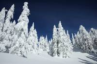Spruces in the snow