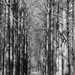 """Pine Plantation"" by bettynorthcutt"