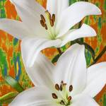 """Two white lilies"" by photogarry"