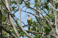 Mourning Dove in a Tree