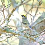 """Golden-crowned Kinglet"" by WildAboutNaturePhotography"