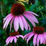 """Tiger Tail Butterfly on Echinacea"" by asterism"