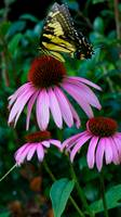 Tiger Tail Butterfly on Echinacea