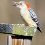 """Red-bellied Woodpecker"" by WildAboutNaturePhotography"