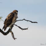 """Red-tailed Hawk"" by WildAboutNaturePhotography"