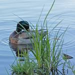 """Sleeping Mallard"" by csjones"