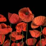 """Poppies"" by CSlanecPhoto"