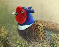 cover of fog, ring necked pheasant