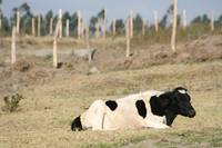 Hershey Cow Lying Down