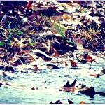 """Floating Leaves"" by mhoelzer2988"