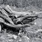 """Tree Stump"" by cherylbucklew"