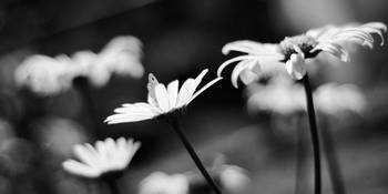Butterfly over daisies in bw