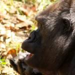 """Gorilla"" by nayr"