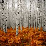 """Aspen Forest 2"" by ccsg51"