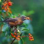 """robin and berries"" by KurtThorson"