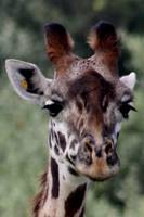 Giraffe, Close up
