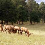 """Elk Herd 1"" by JMcQ"