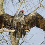 """""""Sunning Vulture"""" by WildAboutNaturePhotography"""